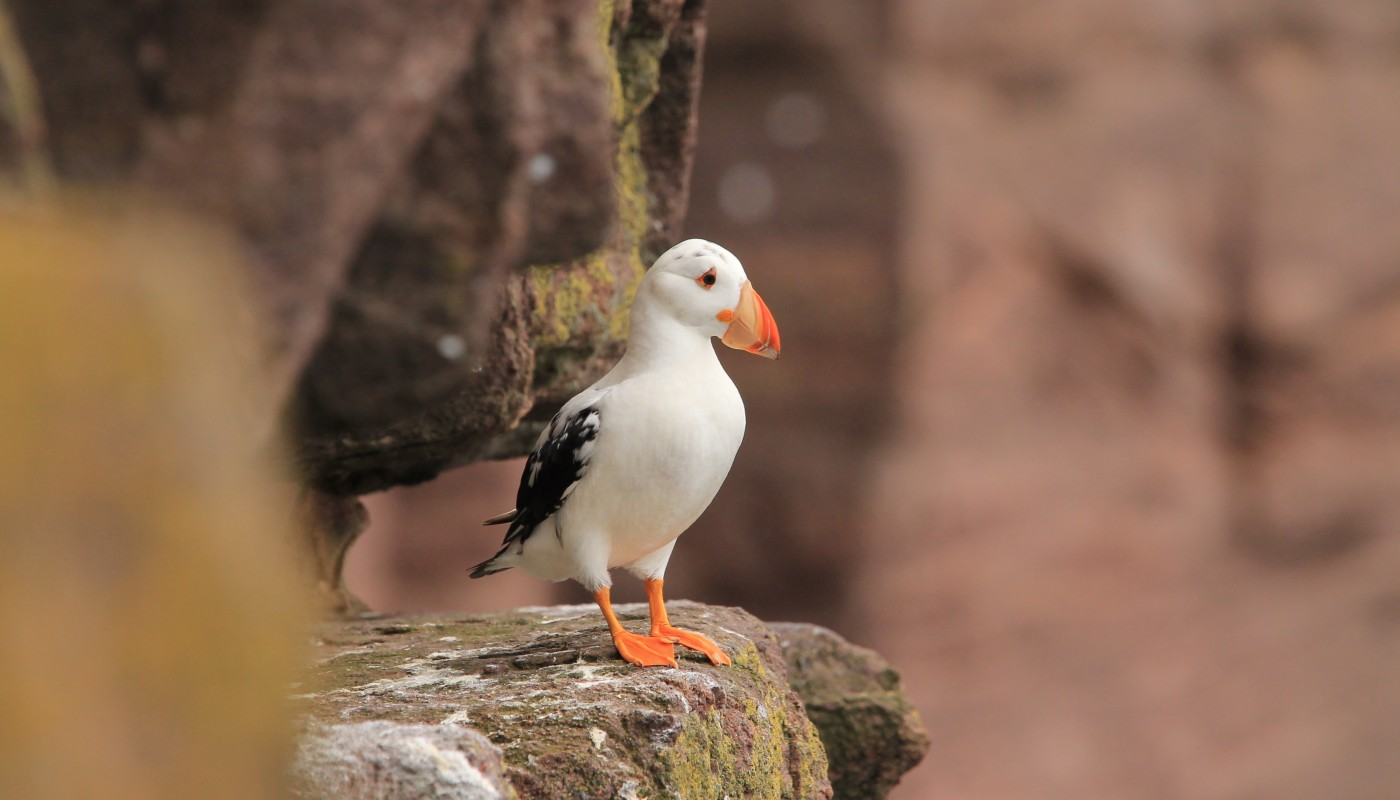 A Rare White Puffin is Sighted